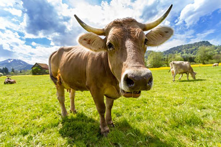 http://www.scenario.co.za/media/global/images/scenario/news/2019/01/cowtwo.jpg